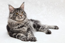 Big Black Tabby Maine Coon Cat Posing On White Background