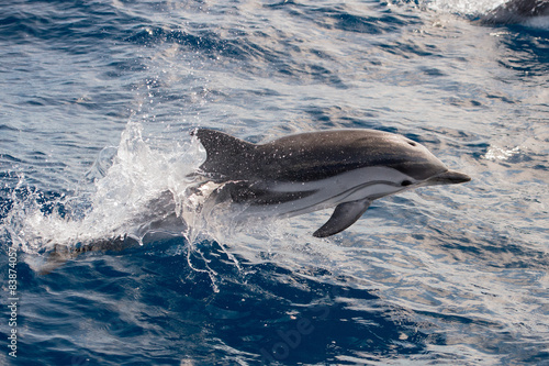 Staande foto Dolfijnen Dolphins while jumping in the deep blue sea