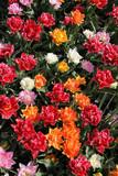 Bujne tulipany