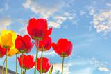 Żółte i czerwone tulipany na tle nieba