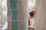 Pies patrzący smutnym wzrokiem pomiędzy belkami