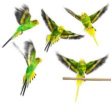 Budgerigar. Parrot. Collection.