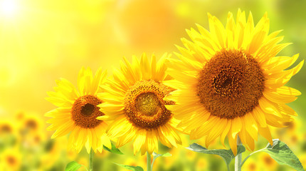 FototapetaThree bright yellow sunflowers