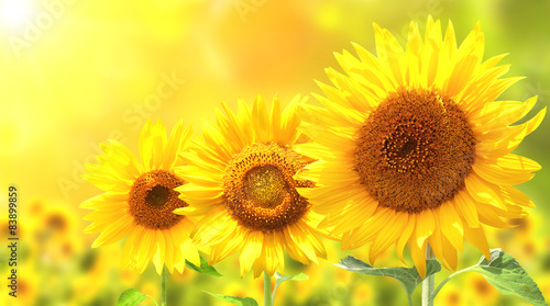 Three bright yellow sunflowers
