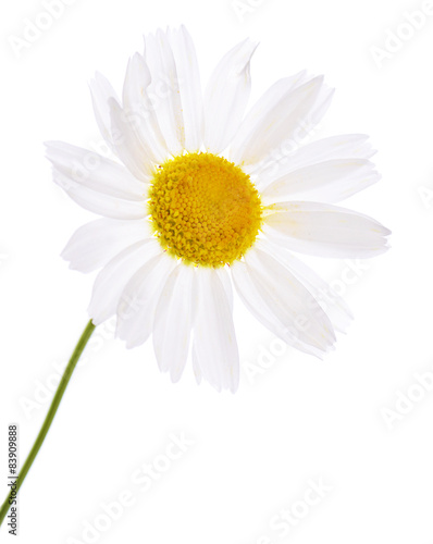 In de dag Madeliefjes The beautiful daisy isolated on white