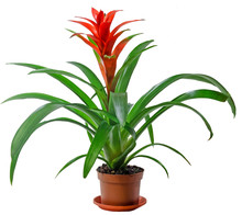 Red Guzmania Flower, Family Br...
