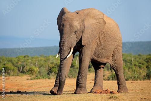 Foto op Aluminium Olifant Large African elephant bull, Addo Elephant National park