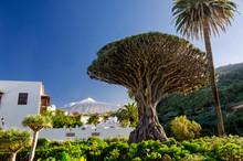Drachenbaum Und Teide Auf Tene...