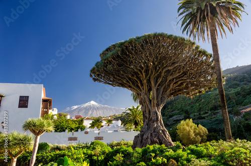 Obraz na plátně Drachenbaum und Teide auf Teneriffa