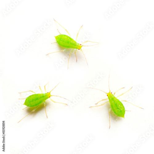 Green aphid on white background. Dangerous vermin for garden. Wallpaper Mural