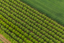 Aerial View Of Trees In An Orchard