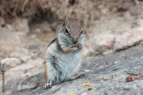 Nagetier - Eichhörnchen / Streifenhörnchen Poster