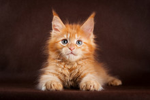 Maine Coon Cat On Black Brown ...
