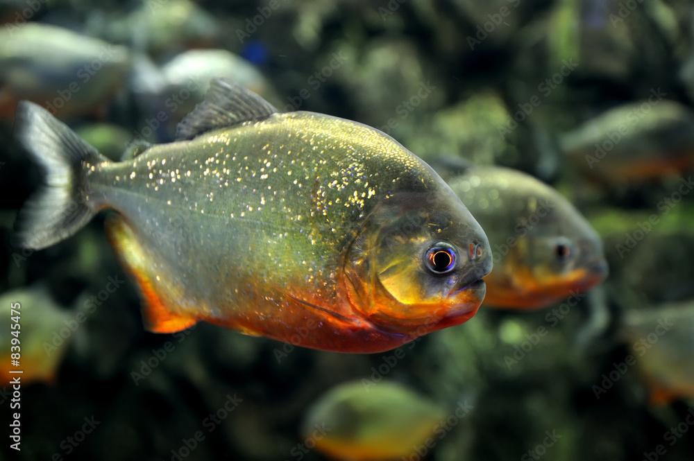 Valokuva  Tropical piranha fishes