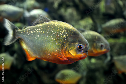 Tropical piranha fishes Canvas-taulu