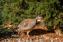 Chukar Moving Quickly Past Viewer.