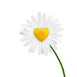 Leinwanddruck Bild - Kamille in Form eines Herzens