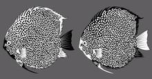 Vector Black And White Aquarium Fish Discus
