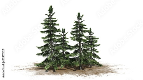 Valokuva  Alaska Cedar tree cluster - separated on white background