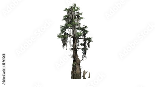 Valokuva  bald cypress tree  - separated on white background