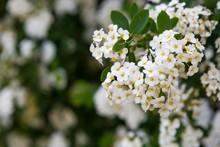 Spirea Blooming