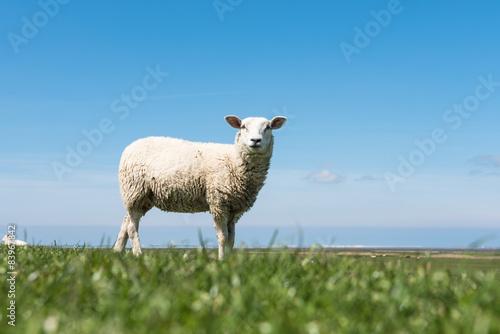 Fotografie, Obraz  Schaf oben auf dem Deich