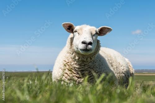 Papiers peints Sheep resting sheep on dyke