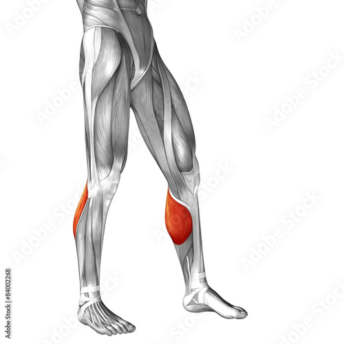 Conceptual 3d Human Front Lower Leg Muscle Anatomy Buy This Stock