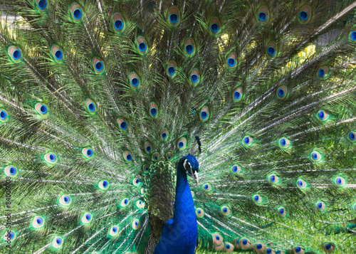 Foto op Aluminium Pauw A beautiful peacock with colorful feathers.