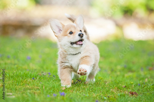 Pembroke welsh corgi puppy running Wallpaper Mural