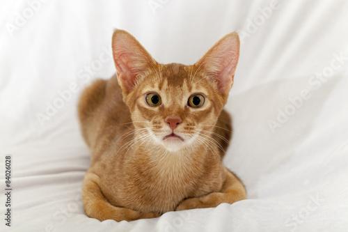 Foto op Aluminium Kat Abyssinian cat