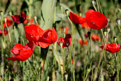 Foto op Canvas Klaprozen field of poppies