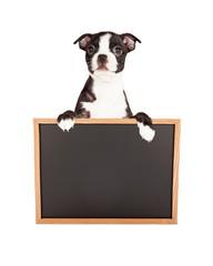 FototapetaBoston Terrier Puppy Holding Blank Chalkboard