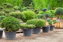 Pine In Pots And Bonsai Garden...