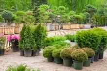 Cypresses Plants In Pots Bonsai Garden Plants On Tree Farm