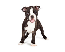 Happy And Smiling Boston Terrier Puppy