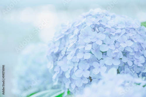 Deurstickers Hydrangea hydrangea flower