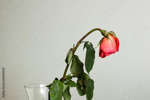 Valokuva  Withered rose