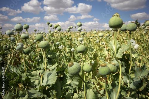 Opium poppies - 84086667