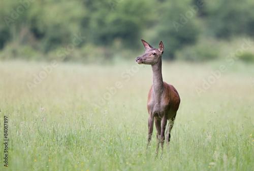 Fotografia, Obraz  Hind in grass