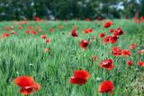 Czerwone maki na polanie