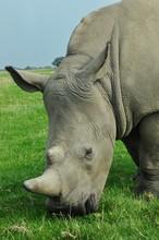 White Rhino Eating Green Grass On A Paddock