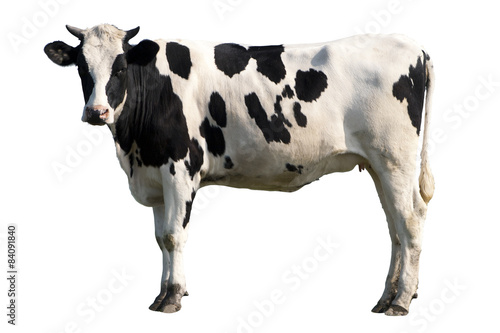Staande foto Koe cow isolated