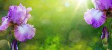 Art Summer Or Spring Beautiful Garden Background With Iris Flowe