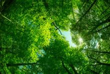 Beautiful Canopy Of Green Trees Looking Upwards