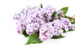 Beautiful lilac isolated on white