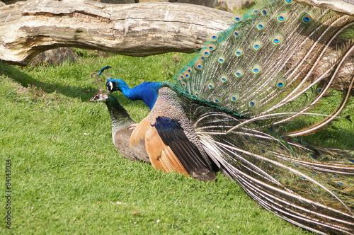 Fotografie, Obraz  Peacock