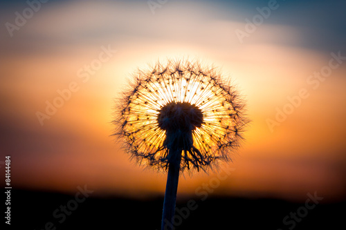 Poster Paardenbloem Dandelion flower with sunset
