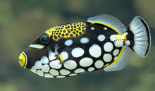 Close-up View Of A Clown Triggerfish (Balistoides Conspicillum)