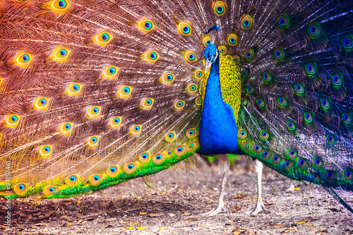 Foto op Aluminium Pauw Peacock in a tropical forest with feathers out